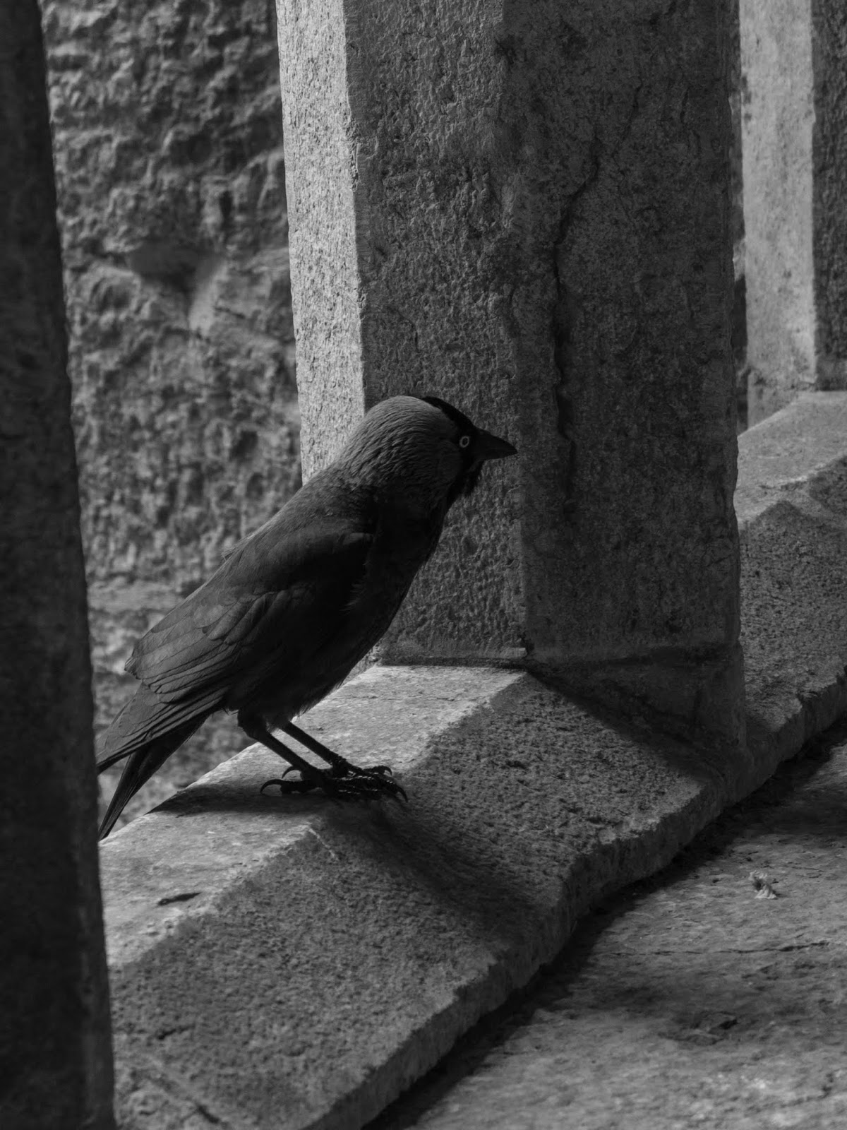 A grey crow sitting on a window in Adare Augustinian Friary, Co.Limerick.