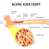The bone marrow structure and components
