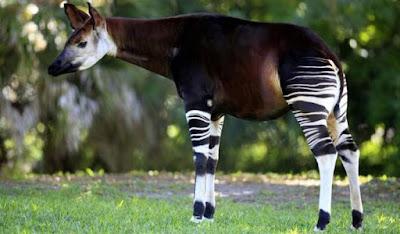 Okapi y bosque