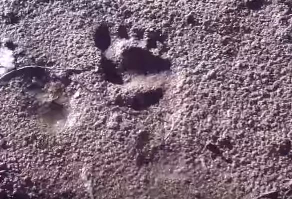 Bigfoot Evidence: Juvenile Bigfoot Tracks Discovered | 584 x 397 jpeg 63kB
