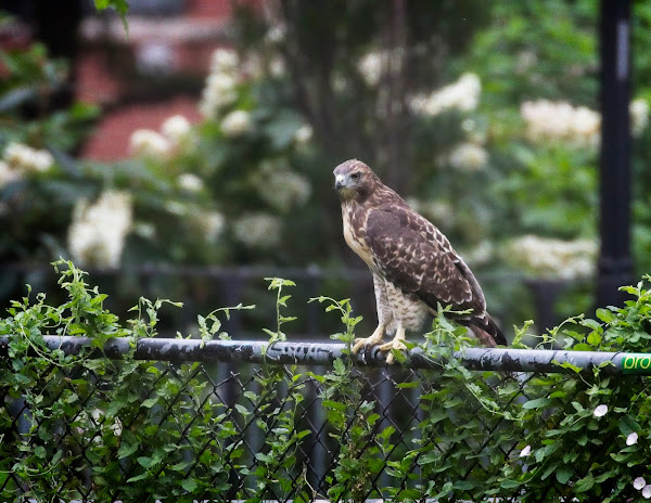 Tompkins Square red-tail fledgling 12