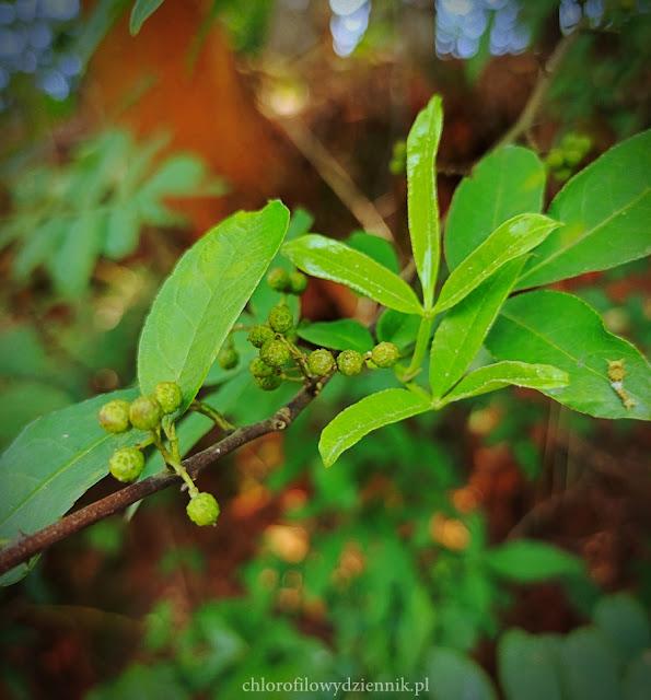 Jak rośnie wyglada kwiaty liscie pokroj rycina Pieprzowiec uzbrojony Zanthoxylum armatum dzikie żółtodrzew w chinach pieprz alternatywa przyprawy azjatyckie rosliny użytkowe drzewa pepper sichuan pieprz chiński syczuański