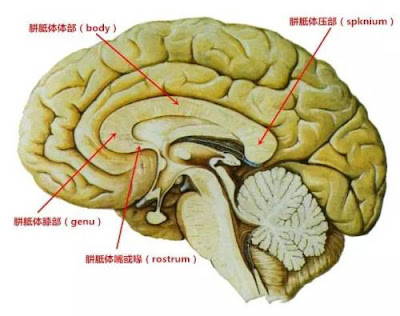 The corpus callosum is divided into four parts
