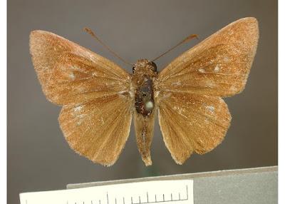 Mariposa saltarín tres puntos (Cymaenes tripunctata)
