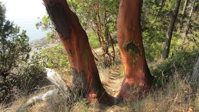 largest Madrone tree ever