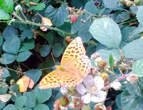 Photograph of A Silver-Washed Fritillary butterfly on brambles between points 3 & 4 Image by Hertfordshire Walker, released under Creative Commons BY-NC-SA 4.0