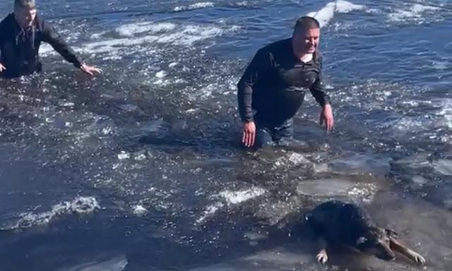 В Петрозаводске мужчины кинулись в ледяную воду и вытащили двух тонущих собак из Онежского озера