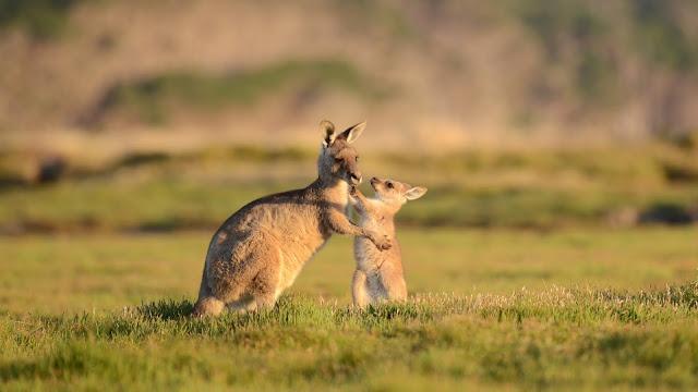 Ciri Ciri Hewan Tipe Australia