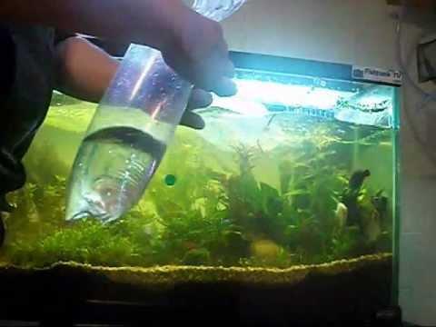 Cara memasukkan ikan baru ke aquarium