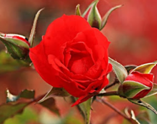 Poem on Rose Flower in Hindi