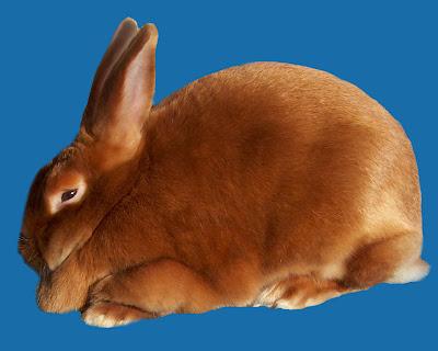 jenis kelinci satin adalah hasil dari mutasi gen