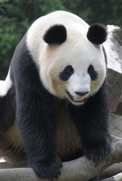 Animals Wallpapers Giant Panda Cool Facts Panda Kids