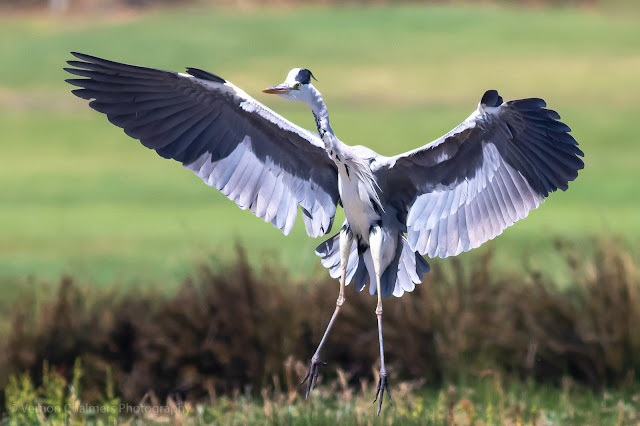 Grey Heron landing on the small island, Woodbridge Island