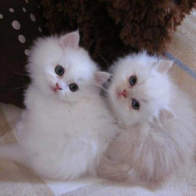 Gatitos peluditos blancos