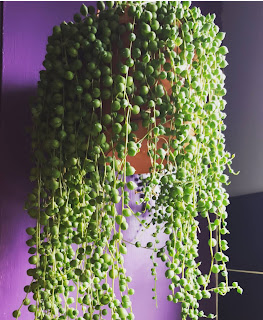 String of pearls care and propagation