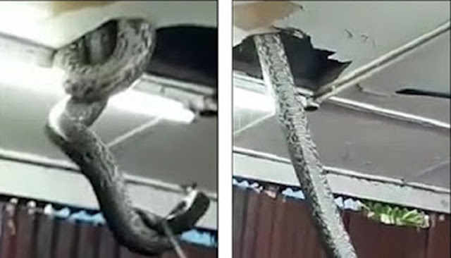 VIDEO - Ngeri , Ular Piton Sepanjang 6 Meter Muncul dari Atap Restoran , Para Pelanggan Langsung Kabur