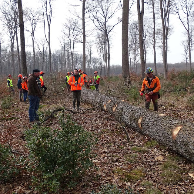 Measuring a tree felled in the Forest of Loches for the restoration of Notre-Dame de Paris.
