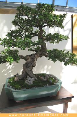 Bonsai Fukien Tea 3