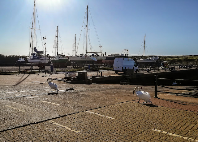 Photo of the male swan chasing the interloper across the top of the marina slipway
