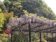 光触寺のフジ