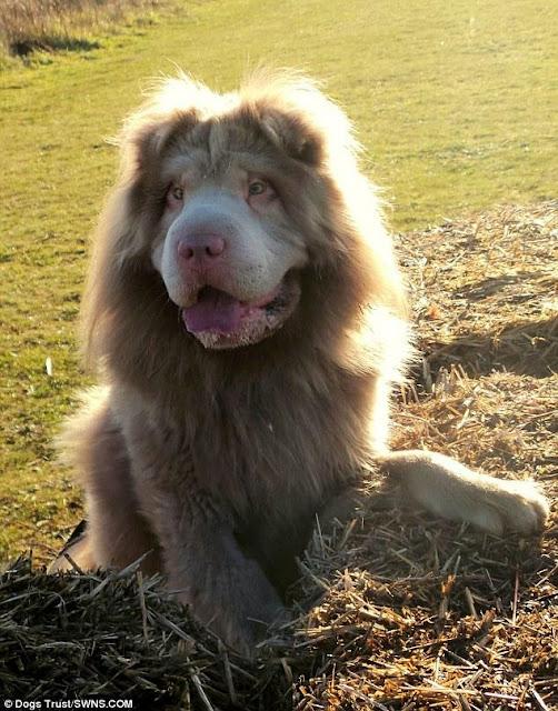 Cư dân mạng phát lú vì không biết đây là chó hay sư tử