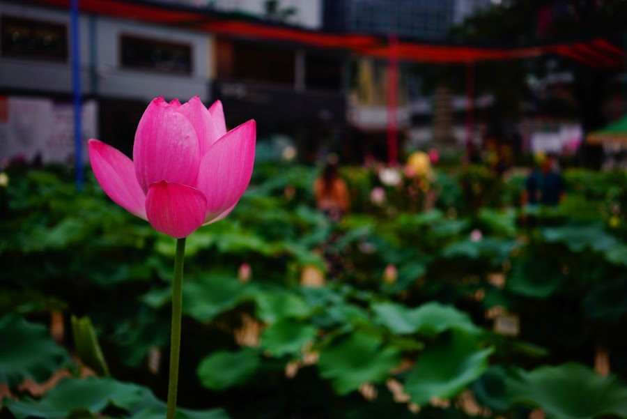 Lotus flower festival in Jogyesa buddhist temple in Seoul