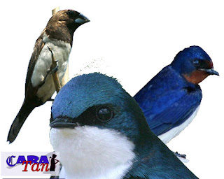 Perbedaan burung walet kapinis dan sriti