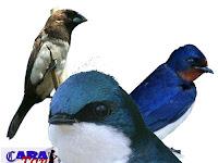 Perbedaan burung walet, kapinis dan sriti