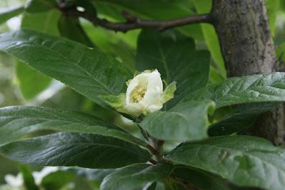 Mespilus germanica - Mispel