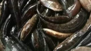তিস্তা নদী থেকে হারিয়ে যাচ্ছে নানা প্রজাতির মাছ!