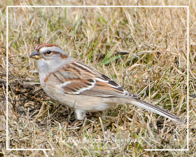 American Tree Sparrow; © Shelley Banks 2016; All Rights Reserved. (ShelleyBanks.ca)