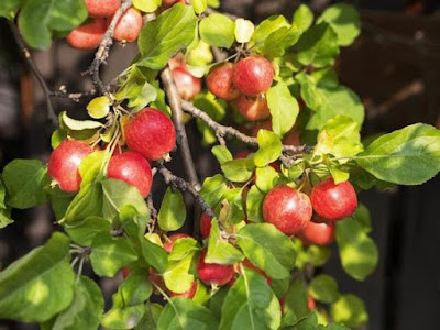 Kristin Holt   Victorian America's Crabapple Jelly and Preserves. Photo: Crabapple tree bough, laden with fruit. Photo: Piinterest.