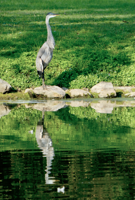 A great blue heron stands next to a lake and is reflected in the surface of the water.