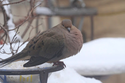 "This picture is the fourth image of Mourning dove sitting atop of snow (the other three showing this are atop the entry). Many snowflakes have landed on his back. This bird type is featured in my three volume book series, ""Words In Our Beak."" Info re the books can be found in another post on this blog @ https://www.thelastleafgardener.com/2018/10/one-sheet-book-series-info.html"