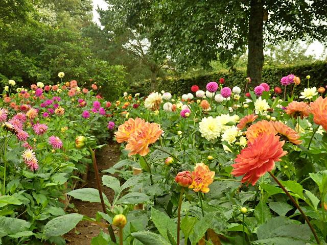 Dahlia at Lost Gardens of Heligan
