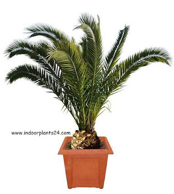 types of indoor palm plants care