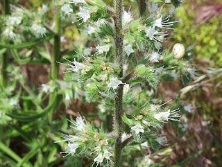 Lengua arábica (Echium italicum) flor silvestre blanca