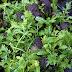 Kylvä kylmänkestäviä salaattivihanneksia