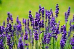Lavender  (लैवेंडर)