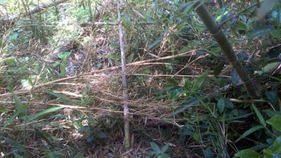 根元で切られた真竹の育ち過ぎたタケノコ