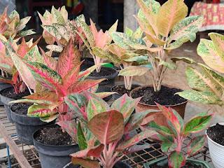 Pemupukan tanaman hias menggunakan pupuk organik NASA
