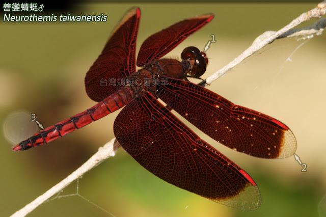 雄蟲 1.臉及複眼紅褐; 2.翅前有透明區,不呈圓形; 3.腹部紅,有明顯黑斑。
