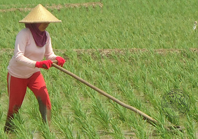 Weed control and interculture for Irrigated Rice
