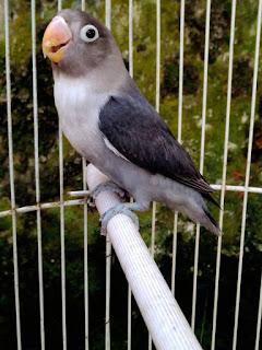Ciri-ciri love bird paud bermental figter di ombyokan