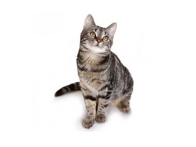 Jenis Kucing European Shorthair