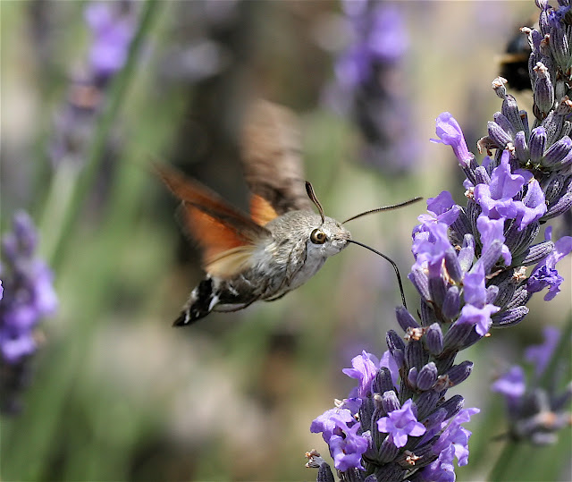 hummingbird hawk moth feeding from laveder flowers