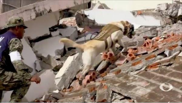 Unidad canina de la Marina rescata a 12 personas vivas de escombros en Oaxaca