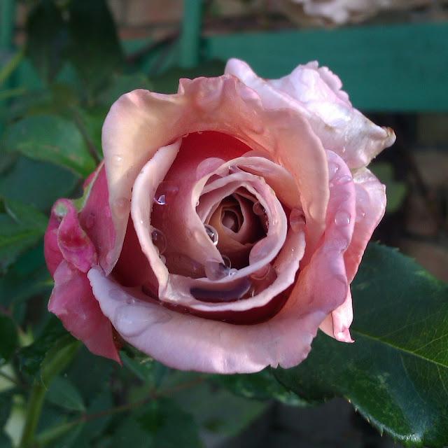 Koko Loko роза