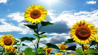 Gambar Bunga Matahari Paling Indah 20009_Sunflower