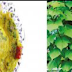 இருமல், சளி மற்றும் வயிறு தொடர்பான பிரச்சினைகளை போக்கவல்ல நோய் எதிர்ப்பு சக்திகள் நிறைந்த கல்யாண முருங்கை இலை